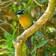 Blue Crowned Motmot in a tree - PhotoDune Item for Sale