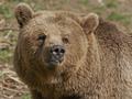 Brown Bear (Ursus arctos) - PhotoDune Item for Sale