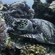 Hawksbill Sea Turtle Eating Corals - VideoHive Item for Sale