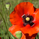 Red Poppy Flowers on a Sunny Day - VideoHive Item for Sale