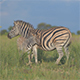 Zebra Foal and Mother - VideoHive Item for Sale