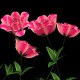 Growing Rose Flower - VideoHive Item for Sale
