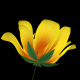 Growing Yellow Flower - VideoHive Item for Sale