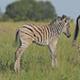 Zebra Foal - VideoHive Item for Sale