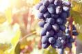 Blue grape cluster against sunlight closeup view - PhotoDune Item for Sale