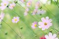Cosmos flower field under morning sun light - PhotoDune Item for Sale