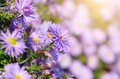 Violet Asters - PhotoDune Item for Sale