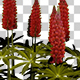 Garden Lupin Red Flowers - VideoHive Item for Sale