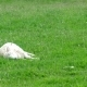 Cute Little Lamb Falling Asleep - VideoHive Item for Sale