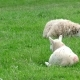 Cute Little Lamb in the Front While Other Sheep Is Sleeping in the Background - VideoHive Item for Sale