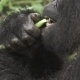 Mountain Gorilla Face Feeding in the Forest in - VideoHive Item for Sale