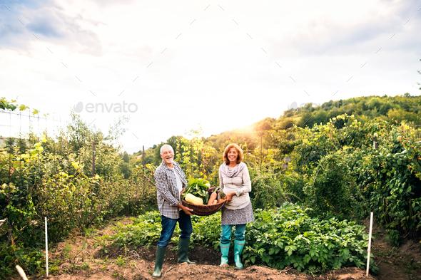 Senior couple gardening in the backyard garden. - Stock Photo - Images