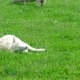 Cute Little Lamb Falling Asleep - VideoHive Item for Sale