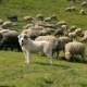 Dogs Guarding the Flock of Sheep - VideoHive Item for Sale
