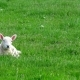 Cute Little Lamb Waking Up - VideoHive Item for Sale