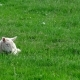 Cute Little Lamb Waking up and Yawning - VideoHive Item for Sale
