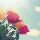 Roses - PhotoDune Item for Sale