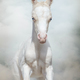 Cream Welsh pony foal whis blue eyes - PhotoDune Item for Sale