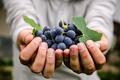 Grapes - PhotoDune Item for Sale