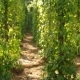 Steadycam Shot of Pepper Plants at a Pepper Farm in Asia - VideoHive Item for Sale