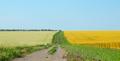 Buckwheat field under cloudy blue sky summer day - PhotoDune Item for Sale