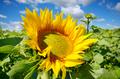 Sunflower green field under cloudy summer sky - PhotoDune Item for Sale