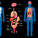Human Anatomy Internal Organs Layout