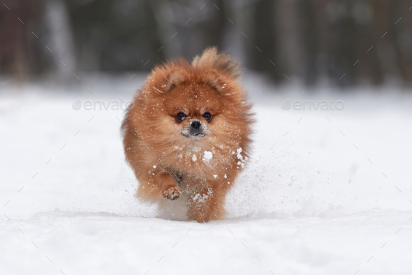 Pomeranian spitz in winter day - Stock Photo - Images