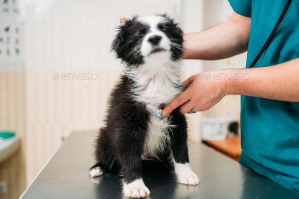 Male veterinarian examining dog, veterinary clinic - Stock Photo - Images