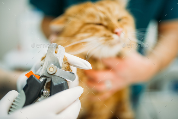 Professional veterinarians cut claws cat closeup - Stock Photo - Images