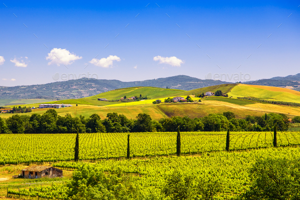 Montalcino countryside, vineyard, cypress trees and green fields - Stock Photo - Images