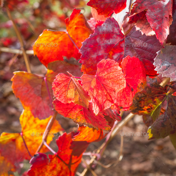 Red Vine Leaves - Stock Photo - Images