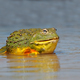 African giant bullfrog in water - PhotoDune Item for Sale
