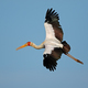 Yellow-billed stork in flight - PhotoDune Item for Sale