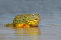 African giant bullfrog in water - PhotoDune Item for Sale