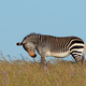Cape mountain zebra in grassland - PhotoDune Item for Sale