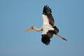 Yellow-billed stork in flight - PhotoDune Item for Sale