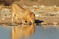 African lion drinking water - PhotoDune Item for Sale