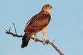 African hawk eagle - PhotoDune Item for Sale