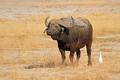 African buffalo - Amboseli National Park - PhotoDune Item for Sale