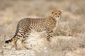 Cheetah in natural habitat - PhotoDune Item for Sale