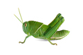 Garden locust on white - PhotoDune Item for Sale