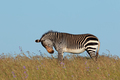 Cape mountain zebra in grassland - PhotoDune Item for Sale