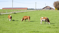 cow in the green grass - PhotoDune Item for Sale