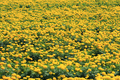 View of marigolds on plant - PhotoDune Item for Sale