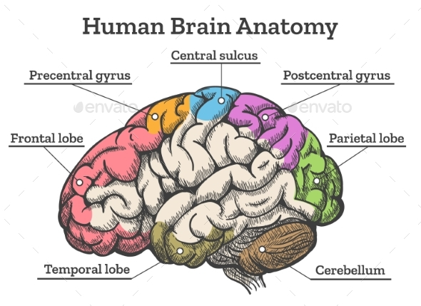 Human Brain Anatomy Diagram By Vectortatu Graphicriver