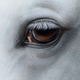 Side view closeup of eye of light gray horse  - PhotoDune Item for Sale