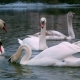 Swan Swiming on River - VideoHive Item for Sale
