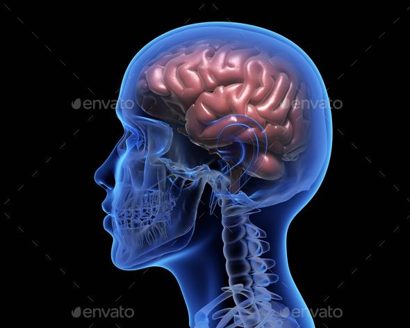 Human brain - Stock Photo - Images