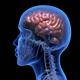 Human brain - PhotoDune Item for Sale